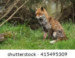 Red Fox In Front Of Thick Gors...