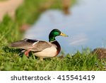 Birds. Beautiful Duck With...