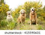 Three Golden Dogs In The...