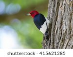 Red Headed Woodpecker Perches...