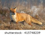 mammals   red fox  vulpes... | Shutterstock . vector #415748239