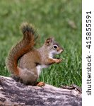 Small photo of American Red Squirrel Eating Sunflower Seeds