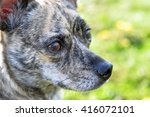 A Close Up Of A Brindle Dog...