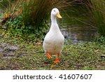 Single Goose In Wet Parkland.