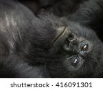 Mountain Gorilla Is Lying Back...