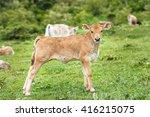 beautiful little calf in green...   Shutterstock . vector #416215075