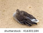 White Fronted Goose  Brown Duck ...