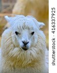 Small photo of Alpaca, white ilama
