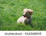 White  Smiling Dachshund Puppy...