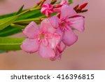 Oleander Flowers   Nerium...