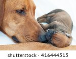 Small photo of Newborn Rhodesian Ridgback whelp sleeping on mommies nose. It is a purebred South African hunting dog. It's remark is the ridge on the back with the fur growing in the opposite direction like normal.