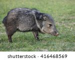 collared peccary grazing on... | Shutterstock . vector #416468569