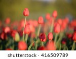Flower. Amazing Red Tulips And...