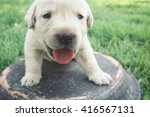 labrador puppy dog   Shutterstock . vector #416567131