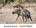 A Clan Of Wild Spotted Hyenas...