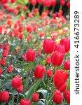 flowerbed of tulips in evening... | Shutterstock . vector #416673289