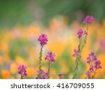 Small photo of Purplish red Linaria blooming early summer flower garden