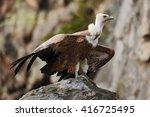 Griffon Vulture  Gyps Fulvus ...