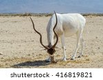 The Curved Horned Antelope...