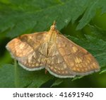 Small photo of Anania verbascalis butterfly