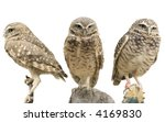 Stock photo three burrowing owls athene cunicularia over white 4169830