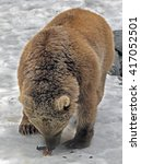 Small photo of Syrian brown bear. Latin name - Ursus arctos syriacus