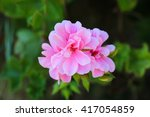 A Beautiful Pink Flower  A...