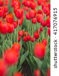 group of red tulips in the park.... | Shutterstock . vector #417076915