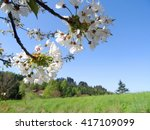 blossom cherry tree in bohemian ... | Shutterstock . vector #417109099
