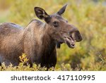 Small photo of Female Western moose (Alces alces andersoni) portrait. Kananaskis, Alberta, Canada, North America