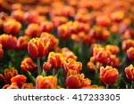 Flower Tulips Background....