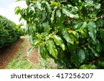 A Coffee Plantation In Maui ...