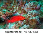coral grouper on the reef | Shutterstock . vector #41737633