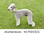 typical  bedlington terrier in... | Shutterstock . vector #417431521