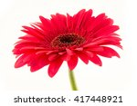 Purple Gerbera Isolated On...