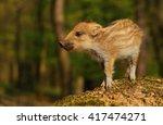 Baby Wild Boar
