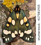 Small photo of Scarlet tiger moth (Callimorpha dominula). Brightly coloured British insect in the family Erebidae, previously Arctiidae, at rest.
