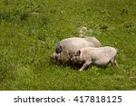 couple male and female pigs...   Shutterstock . vector #417818125