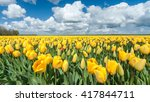 Yellow Tulip Field In The...
