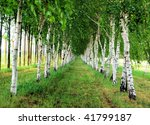 View though the trees of a birch alley - stock photo