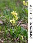 Small photo of Paigle (Primula veris, Primula officinalis) grows at Carpathean mountains.