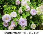 Clematis Garden 'belle Of...
