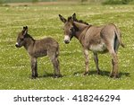 Mother And Baby Donkeys On The...