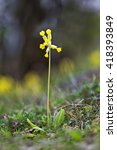 Small photo of Eurasian primrose also known as paigle or in latin Primula veris. Single flower in blossom.