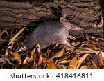 A Nine Banded Armadillo Looks...