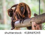 Small photo of Guariba Monkey (Alouatta guariba clamitans) in captivity in Rio de Janeiro, Brazil