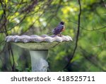 American Robin Perched In The...