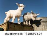 Newborn Pygmy Goats Like To...