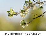 Branch Of Apple Tree Flowering...