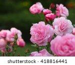 pink rose | Shutterstock . vector #418816441